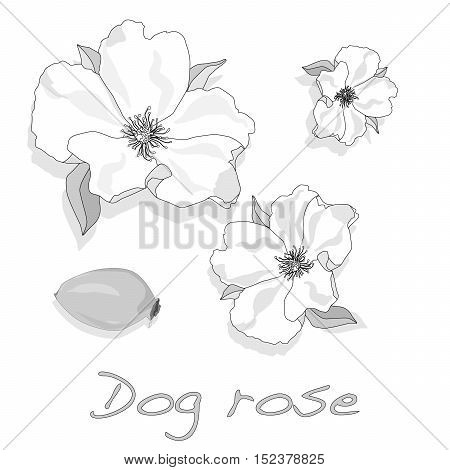 Rose Hip Vector Isolated.
