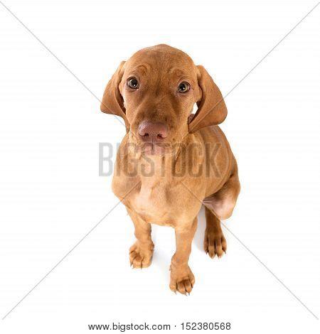 Hungarian Vizsla Pointer Puppy dog portrait in studio