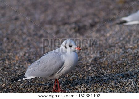 Close up of a seagull at the lake
