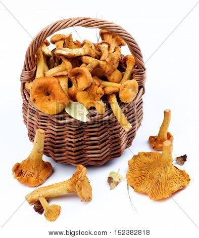 Fresh Raw Chanterelles with Dry Leafs and Stems in Wicker Basket closeup on White background