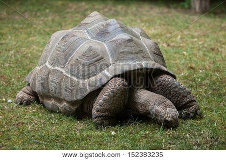 Aldabra giant tortoise (Aldabrachelys gigantea). Wildlife animal.