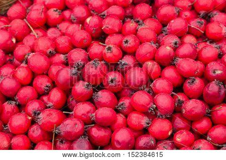 Ripe fruits of Hawthorn ordinary (lat. Crataegus laevigata) background