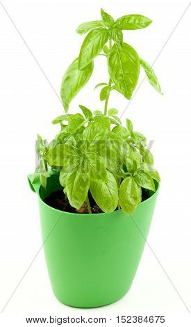 Fresh Green Lush Foliage Basil in Green Flower Pot isolated on White background