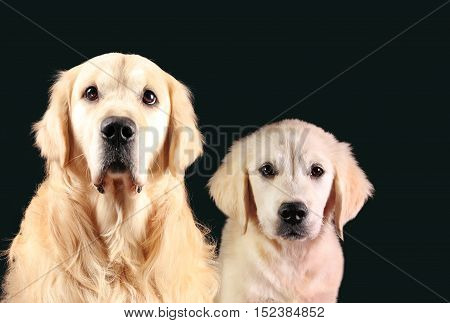 Golden Retriever and a Labrador puppy sitting in front of black background.