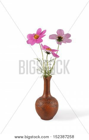 closeup bouquet of Cosmos Flowers in the clay pitcher isolated on white. Vertical composition