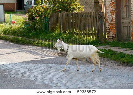 Goat walking along a road in village