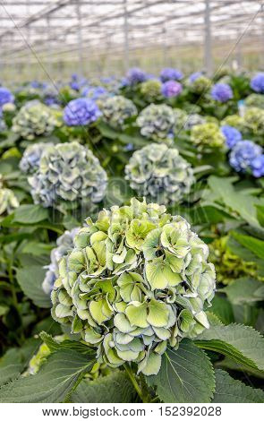 Colorful budding and blooming Hydrangea macrophylla plants in a specialized cut flowers nursery in the Netherlands.