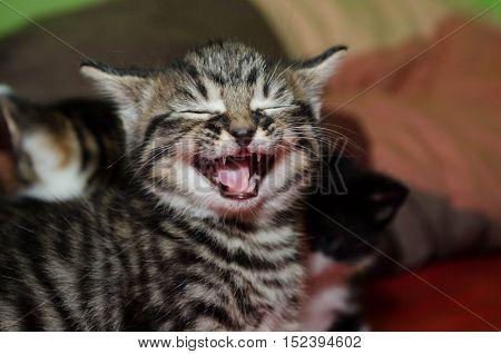 Tabby kitten meowing, looking like it's screaming