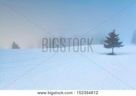 pine tree on snow in morning fog Feldberg Germany