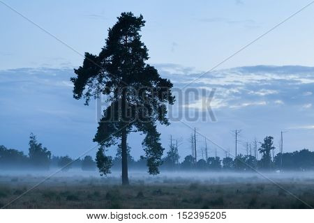 spruce tree in dusk with fog Friesland Netherlands