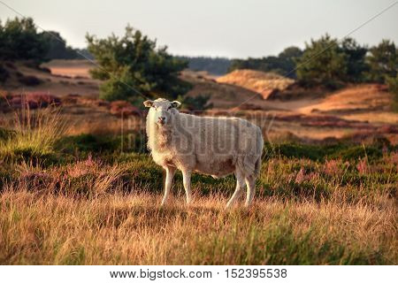 sheep on hill in summer Drents-Friese wold Netherlands