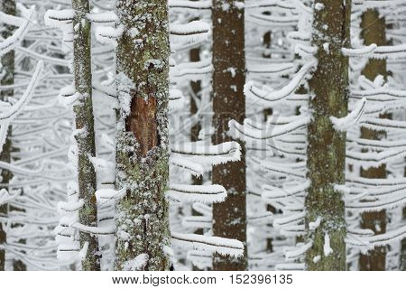 Winter in the woods. Fir trees in the snow