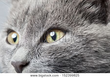 gray kitten close up smoky cat on a white background. focus on eyes