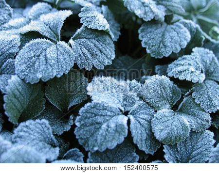 Macro winter background of strawberry leaves in first early frost ice crystals