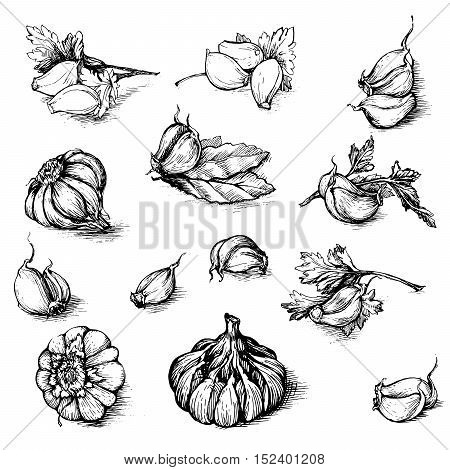Vector hand drawn set of garlic with parsley and laurel leaf. Spices sketch illustration isolated on white background.
