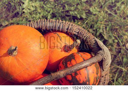 retro basket made manually full of ripe orange pumpkins / harvest of vegetables grown in the garden