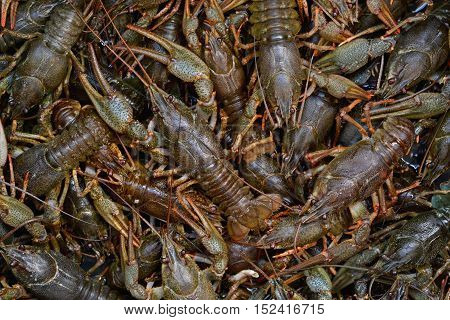 A large cluster of fresh raw crayfish