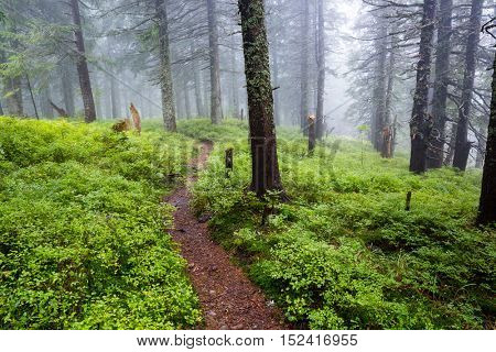 forest pathway among old trees in mist