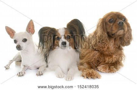three little dogs in front of white background