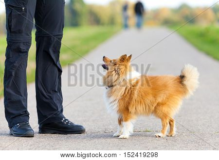 a Shetland Sheepdog looks to his owner