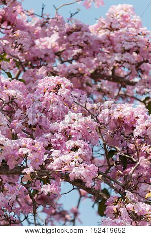 Tacoma blooming in Malaysia resembling sakura flower