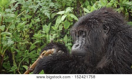 Side view of expressive mountain gorilla face feeding in the wilderness of the forest