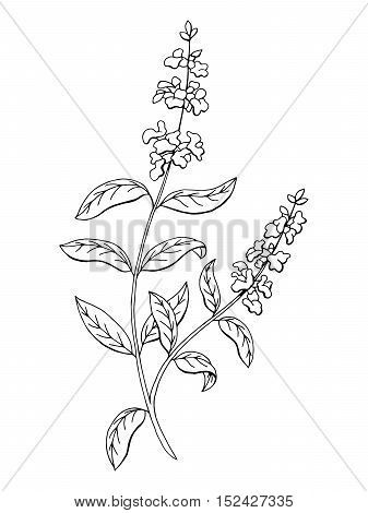 Salvia sage herb flower graphic art black white isolated sketch illustration vector