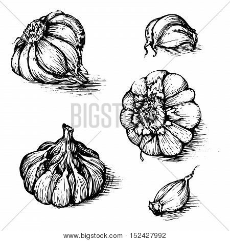 Vector hand drawn set of garlic with cloves. Spices sketch illustration isolated on white background.