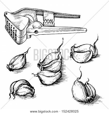 Vector hand drawn set of garlic cloves with press. Spices sketch illustration isolated on white background.