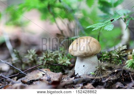 Fresh raw mushroom in a small nature reserve in the forest
