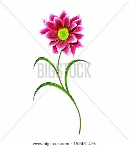 Bouquet chrysanthemum. Flowers isolated on white background.