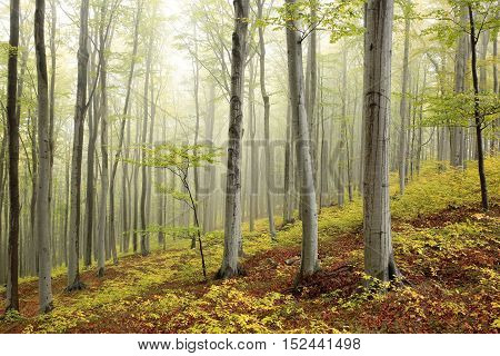 Autumn beech forest in the fog. October, Poland.