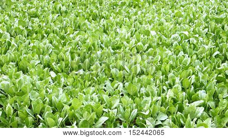 Kale plant crop to neary for use to background.This photo at Bangbuathong Nonthaburi Thailand.
