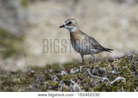 female Mongolian plover standing in the tundra summer day