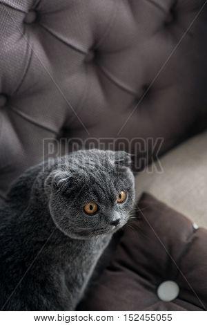 Fixed glance. Portrait of sweet British cat sitting on big grey sofa.