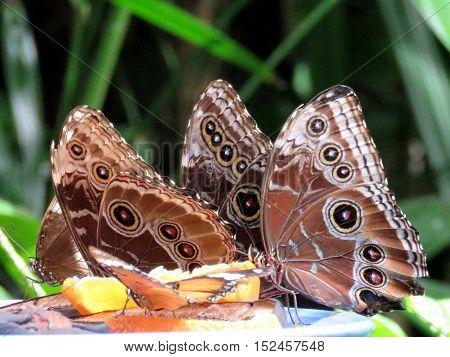 Niagara Falls Canada - July 162016: Common Morpho butterflies in garden.