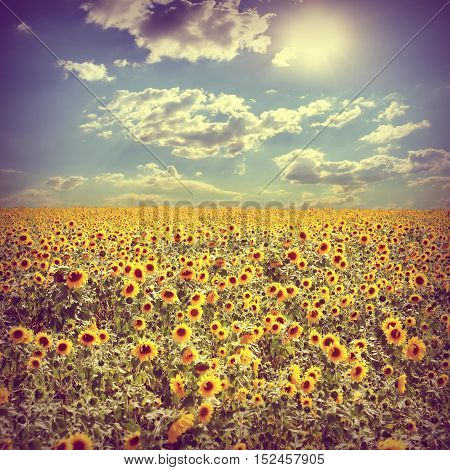 Field with sunflowers and the blue sky photography