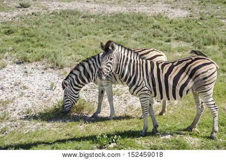 Two plains zebras (Equus quagga) grazing in Etosha national park