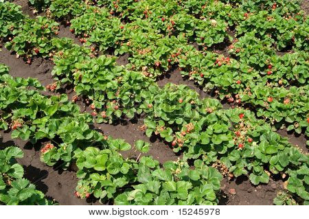 green bush of  red  strawberry
