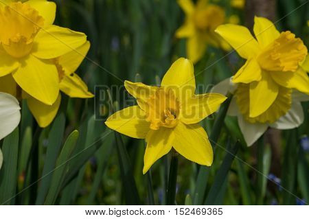 Close up of beautiful yellow narcissus. Yellow daffodils
