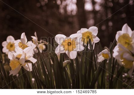 Close up of beautiful white narcissus in spring. White daffodils