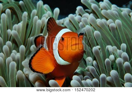 Amphiprion (Western clownfish (Ocellaris Clownfish False Percula Clownfish)) is hiding in anemone, Puerto Galera, Philippines