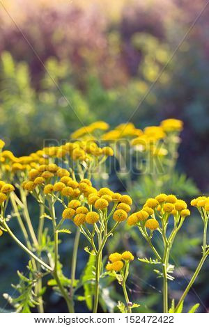 Autumn meadow yellow flowers in afternoon and sunset