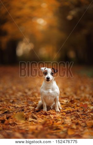 Jack Russell Terrier dog with leaves. gold and red color walk in the park
