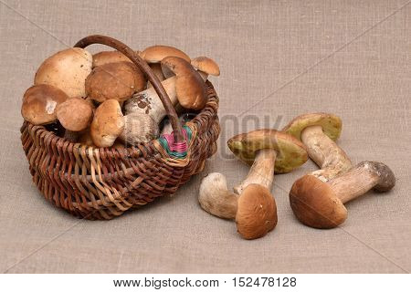 Group of porcini mushrooms on linen. The natural color and texture. Mushroom in the basket