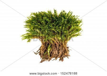 Green moss on a white background. Moss with roots isolated