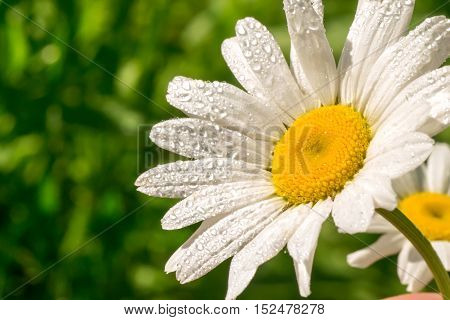 Camomile with dew drops. Spring Flower with drops
