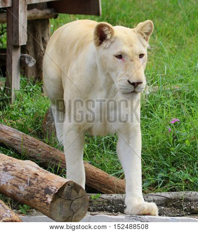 white mutation African lioness stepping forward toward camera in a zoo habitat near Songkhla, Thailand