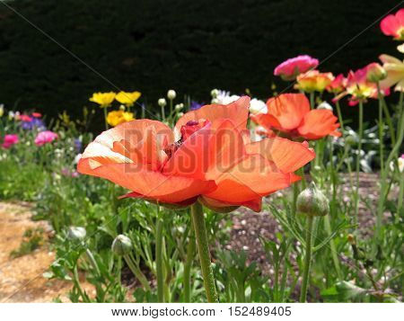 Close up of an orange poppy flower in a garden of colorful colourful poppies