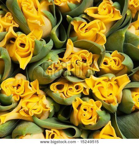 beautiful yellow double tulips, background